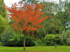 Maassluis - Prunus in Autumnal colours by <b>Ria Maat</b> ( a Panoramio image )