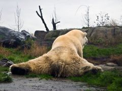 белый Мишка, Ijsbeer by <b>Igor Fedotenkov</b> ( a Panoramio image )