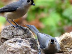 Tufted Titmouse Pair ... © All Rights Reserved  by <b>jgevans</b> ( a Panoramio image )