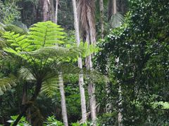 Treefern, Mt Tamborine, Queensland by <b>Ian Stehbens</b> ( a Panoramio image )