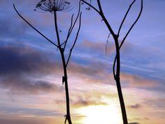Sexy Twins -Troms?palmer(Heracleum laciniatum) by <b>Tom Salomonsen</b> ( a Panoramio image )