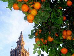 Naranjas y La Giralda de Sevilla by <b>juanvi.fdz.-blanco</b> ( a Panoramio image )