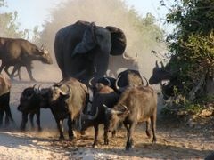 Elephant vs Buffalo by <b>Oompie</b> ( a Panoramio image )