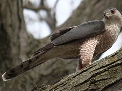 "Cooper""s Hawk""s  Attentive Glare by <b>Patty Arsenault</b> ( a Panoramio image )"