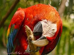 Guacamaya roja y amarillo -Ara macao-,  ZooAves, La Garita, Cost by <b>Melsen Felipe</b> ( a Panoramio image )