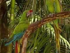 Ara ambigua en el  ZooAves de La Garita, Alajuela, Costa Rica by <b>Melsen Felipe</b> ( a Panoramio image )