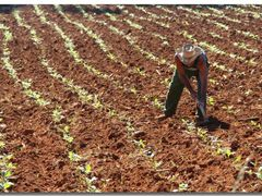 Vinales – campesino at work on the tobacco field  by <b>©polytropos</b> ( a Panoramio image )