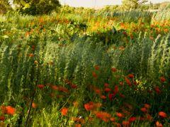 Маки by <b>Chishko Vassiliy</b> ( a Panoramio image )