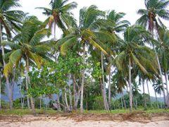 Coconut Trees at Sabang Beach, Palawan, Philippines 2006 by <b>Ralf & Lhyn</b> ( a Panoramio image )