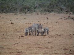 Warthog family in Addo Elephant NP by <b>Jiri Planicka</b> ( a Panoramio image )