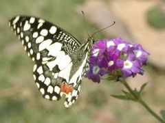 Butterfly by <b>Shaikh Aslam Goni</b> ( a Panoramio image )