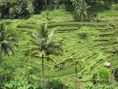 Ricefields Bali by <b>pauwels ferdi</b> ( a Panoramio image )
