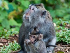 Bali — Crab-eating Macaque ¦ by pilago by <b>pilago</b> ( a Panoramio image )