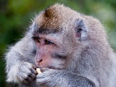 Bali — Macaque ¦ by pilago by <b>pilago</b> ( a Panoramio image )