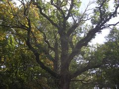Tulivere tamm, the Oak of Tulivere by <b>Aulo Aasmaa</b> ( a Panoramio image )