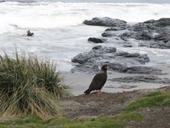 Southern Caracara by <b>dtbirch</b> ( a Panoramio image )