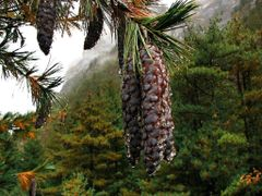 Himalayan  pine cones by <b>volnat</b> ( a Panoramio image )