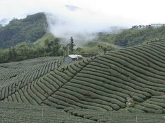 ?? ?? Tea garden by <b>??</b> ( a Panoramio image )