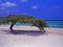 Dividivi Tree, Aruba 1991 by <b>mathiassw</b> ( a Panoramio image )