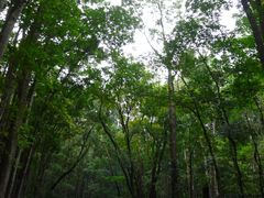 Mahogany Man-Made Forest by <b>S. Dejchaisri</b> ( a Panoramio image )