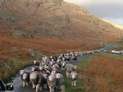 Sheep on the move by <b>John Goodall</b> ( a Panoramio image )