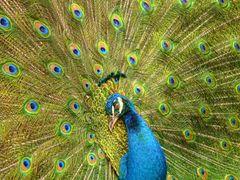 Pavo cristatus (pavo real) en Costa Rica, ZooAves, La Garita, Al by <b>Melsen Felipe</b> ( a Panoramio image )