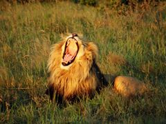 Roaring (yawning?) Lion at Schotia_HSW by <b>Henry Schwan</b> ( a Panoramio image )