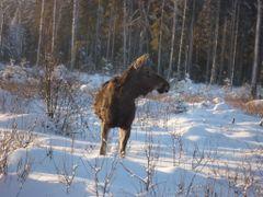 Moose near road 22 by <b>Ktmrider</b> ( a Panoramio image )