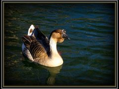 African Goose....Anser cygnoides domesticus by <b>joyfotos</b> ( a Panoramio image )
