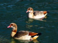 Egyptian Geese (Alopochen aegyptiacus)......On The Medina River by <b>joyfotos</b> ( a Panoramio image )