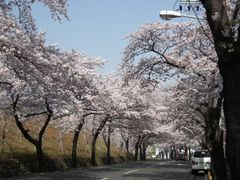 Cherry blossom street by <b>peacemaker453354 (No Views)</b> ( a Panoramio image )
