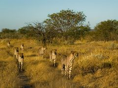 Dusk Patrol - Cheetahs at Otjitotongwe Farm by <b>Traveling-Crow</b> ( a Panoramio image )