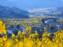 "Rape flowers in ""Wuyuan"" by <b>ssSUH</b> ( a Panoramio image )"