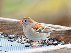 Field Sparrow by <b>seventhheaven</b> ( a Panoramio image )