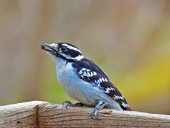 Downy Woodpecker by <b>seventhheaven</b> ( a Panoramio image )