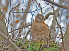 Red Tailed Hawk by <b>seventhheaven</b> ( a Panoramio image )