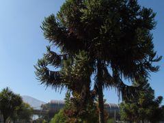 Araucaria by <b>mpcm</b> ( a Panoramio image )