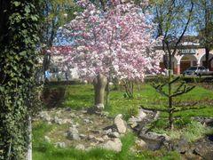 magnolii inflorite in parcul Tecuci by <b>Adrian Danga</b> ( a Panoramio image )