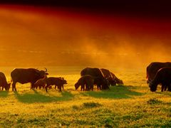 Cape Buffalo at sunset, Addo National Park by <b>rod bally</b> ( a Panoramio image )