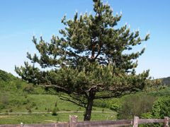 The pine tree in Jelov Klanac, Rakovica by <b>Marin Stanisic</b> ( a Panoramio image )