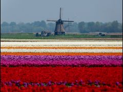 Tulip fields near Egmond - This is Holland - By Stathis Chionidi by <b>Stathis Chionidis</b> ( a Panoramio image )
