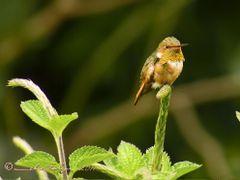 Fugaz y pequeno colibri (Selasphorus scintilla,) de 6 cm Heredia by <b>Melsen Felipe</b> ( a Panoramio image )