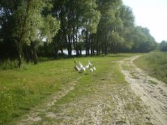 Geese by <b>Shadow.LA</b> ( a Panoramio image )