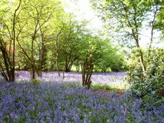 Keele.  Field of Blue Bells. by <b>elva712</b> ( a Panoramio image )