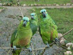 Hein?... (Papagaios - _Amazona aestiva_ na Estancia Mimosa, Boni by <b>Silvia Venturi</b> ( a Panoramio image )