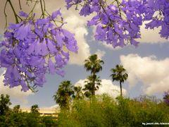 Jacarandas en el Cielo by <b>juanvi.fdz.-blanco</b> ( a Panoramio image )