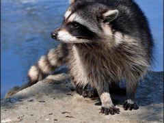 Stanley Park Raccoon by <b>Gabor Retei</b> ( a Panoramio image )