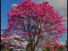 Ipe-roxo - Sao Pedro - SP - BRASIL. by <b>AntonioVidalphotography</b> ( a Panoramio image )