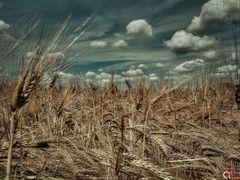Field of Rye Dottikon by <b>Anthony August</b> ( a Panoramio image )