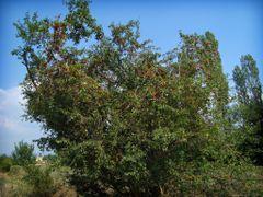 Red Mirabelles tree by <b>Dimitris Aspiotis</b> ( a Panoramio image )